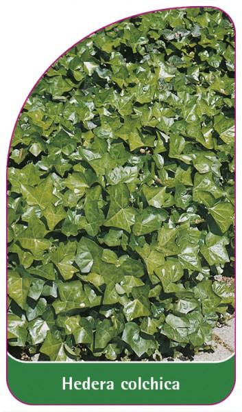Hedera colchica, 68 x 120 mm