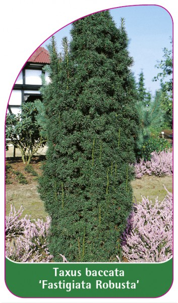 Taxus baccata 'Fastigiata Robusta', 68 x 120 mm