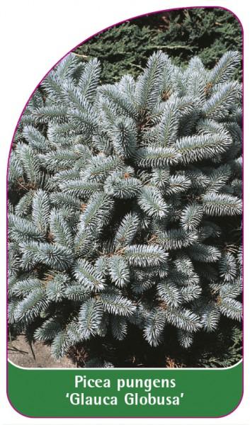 Picea pungens 'Glauca Globosa', 68 x 120 mm