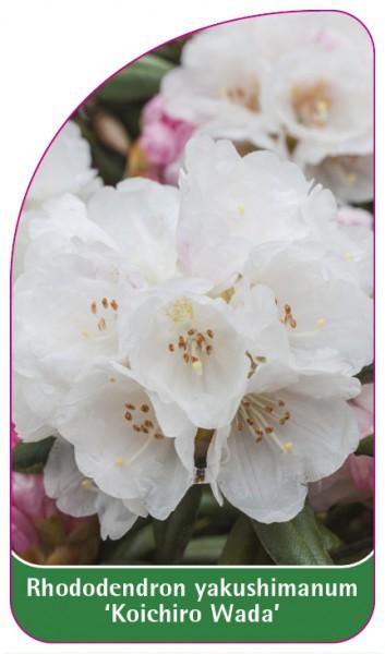 Rhododendron yakushimanum 'Koichiro Wada', 68 x 120 mm