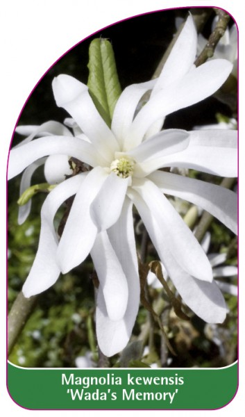 Magnolia kewensis 'Wada's Memory', 68 x 120 mm