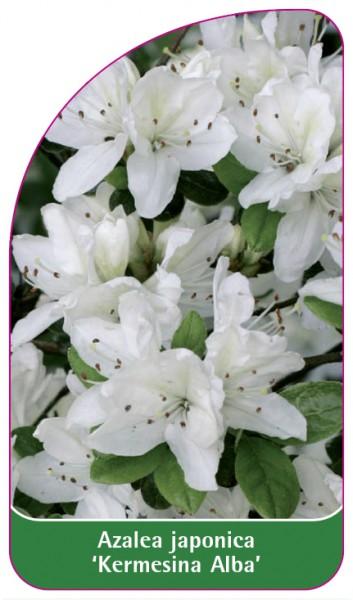 Azalea japonica 'Kermesina Alba', 68 x 120 mm