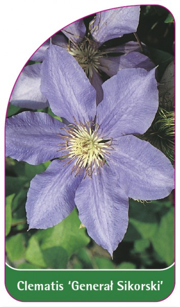 Clematis 'General Sikorski', 68 x 120 mm