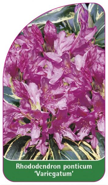 Rhododendron ponticum 'Variegatum', 68 x 120 mm