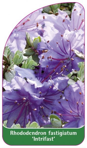 Rhododendron fastigiatum 'Intrifast', 68 x 120 mm