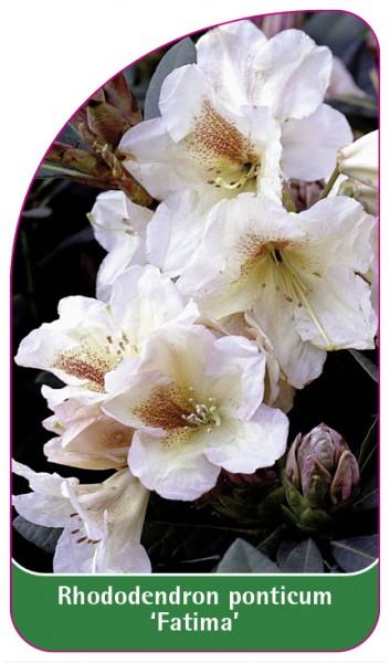 Rhododendron ponticum 'Fatima', 68 x 120 mm