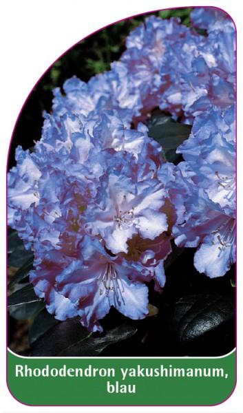 Rhododendron yakushimanum, blau, 68 x 120 mm