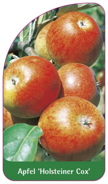 Apfel 'Holsteiner Cox', 68 x 120 mm