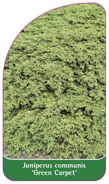Juniperus communis 'Green Carpet', 68 x 120 mm