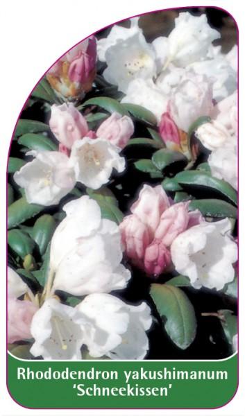 Rhododendron yakushimanum 'Schneekissen', 68 x 120 mm