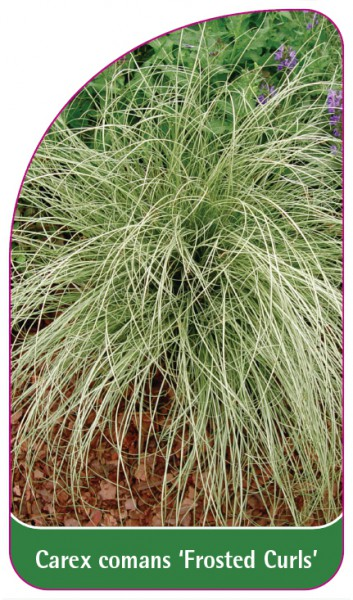 Carex comans 'Frosted Curls', 68 x 120 mm