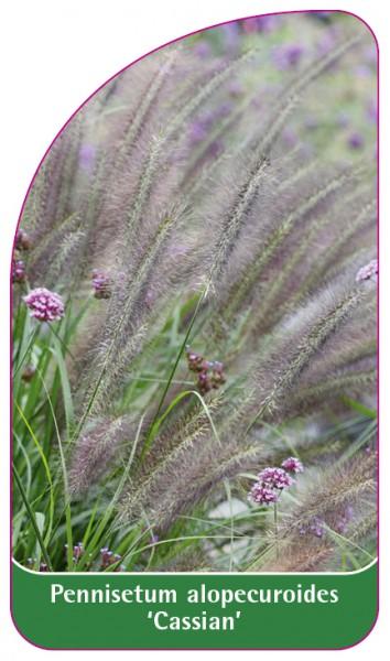 Pennisetum alopecuroides 'Cassian', 68 x 120 mm