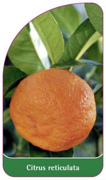 Citrus reticulata, 68 x 120 mm