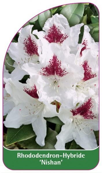 Rhododendron-Hybride 'Nishan', 68 x 120 mm