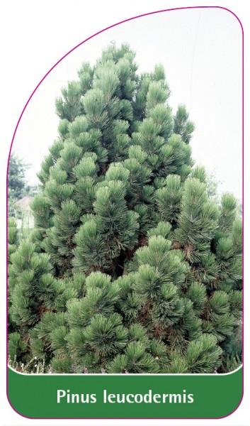 Pinus leucodermis, 68 x 120 mm