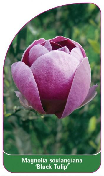 Magnolia soulangiana 'Black Tulip', 68 x 120 mm
