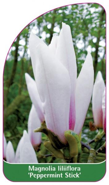 Magnolia liliiflora 'Peppermint Stick', 68 x 120 mm
