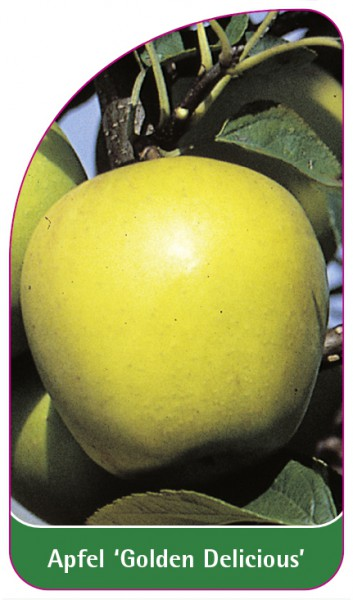 Apfel 'Golden Delicious', 68 x 120 mm