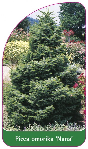 Picea omorika 'Nana', 68 x 120 mm