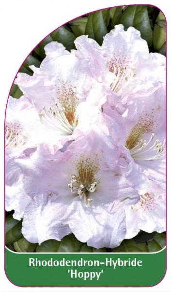 Rhododendron-Hybride 'Hoppy', 68 x 120 mm
