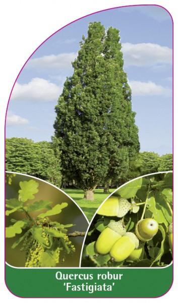 Quercus robur 'Fastigiata', 68 x 120 mm