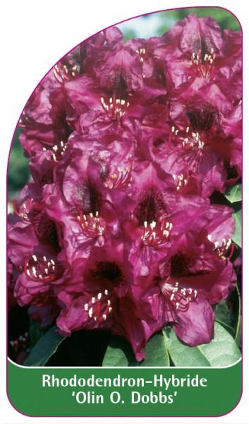Rhododendron-Hybride 'Olin O. Dobbs', 68 x 120 mm
