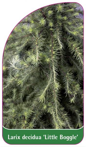 Larix decidua 'Little Boggle', 68 x 120 mm