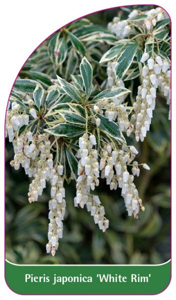 Pieris japonica 'White Rim', 68 x 120 mm