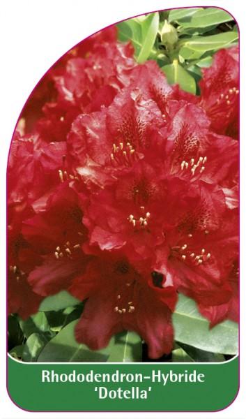 Rhododendron-Hybride 'Dotella', 68 x 120 mm