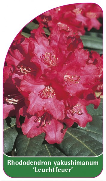 Rhododendron yakushimanum 'Leuchtfeuer', 68 x 120 mm