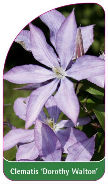 Clematis 'Dorothy Walton', 68 x 120 mm