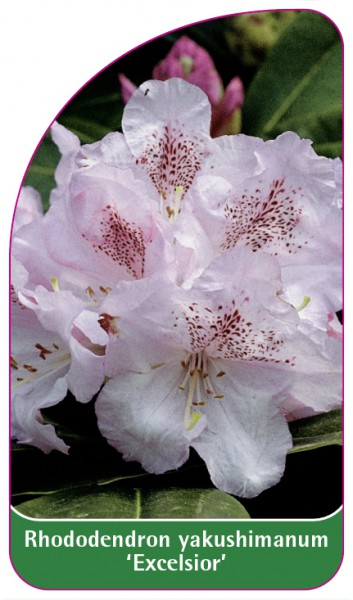 Rhododendron yakushimanum 'Excelsior', 68 x 120 mm