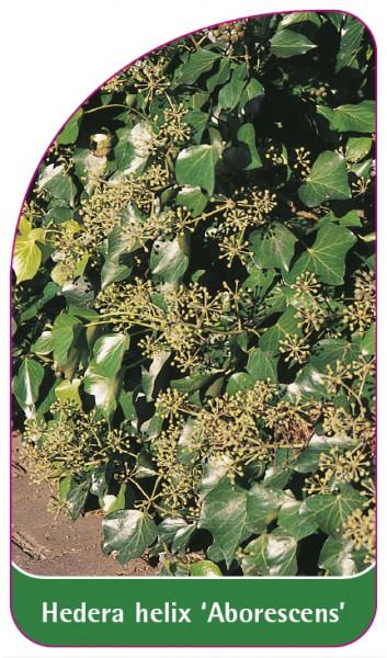 Hedera helix 'Arborescens', 68 x 120 mm