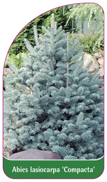 Abies Iasiocarpa 'Compacta', 68 x 120 mm