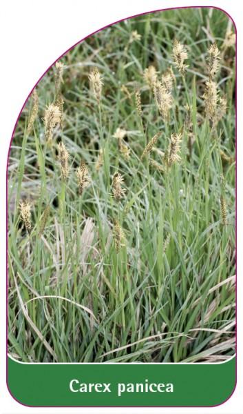 Carex panicea, 68 x 120 mm