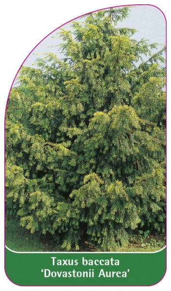 Taxus baccata 'Dovastonii Aurea', 68 x 120 mm