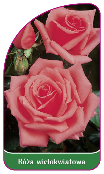 Róza wielokwiatowa Nr. 265, 52 x 90 mm