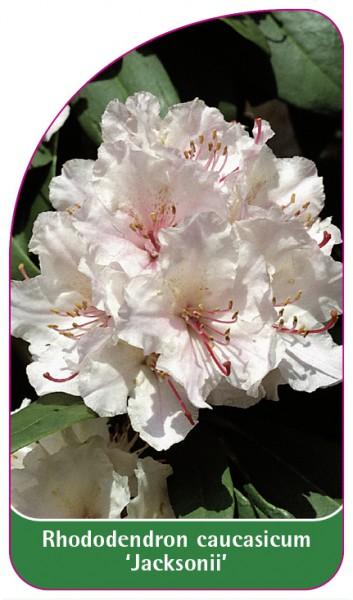 Rhododendron caucasicum 'Jacksonii', 68 x 120 mm