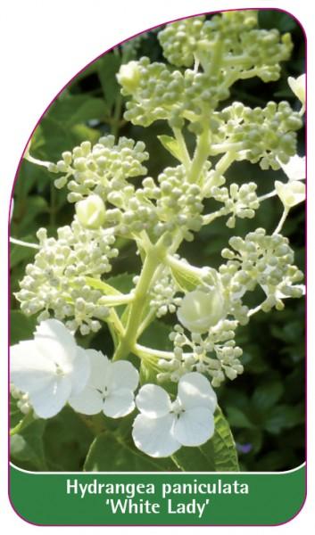 Hydrangea paniculata 'White Lady', 68 x 120 mm