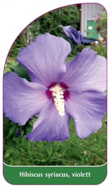 Hibiscus syriacus, violett, 68 x 120 mm