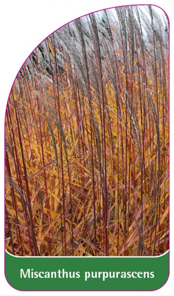 Miscanthus purpurascens, 68 x 120 mm
