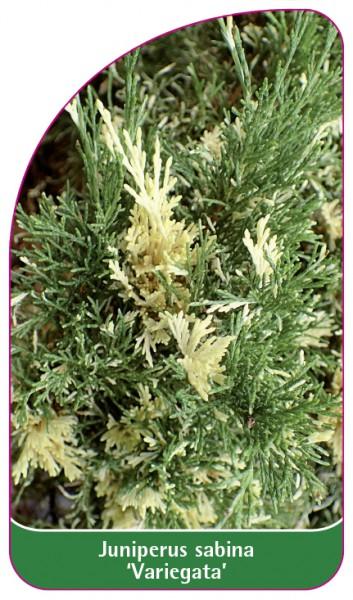 Junisperus sabina 'Variegata', 68 x 120 mm