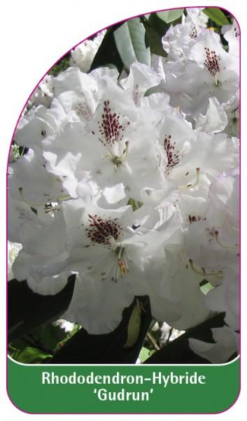 Rhododendron-Hybride 'Gudrun', 68 x 120 mm