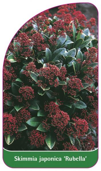 Skimmia japonica 'Rubella', 68 x 120 mm