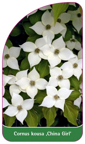 Cornus kousa 'China Girl', 68 x 120 mm