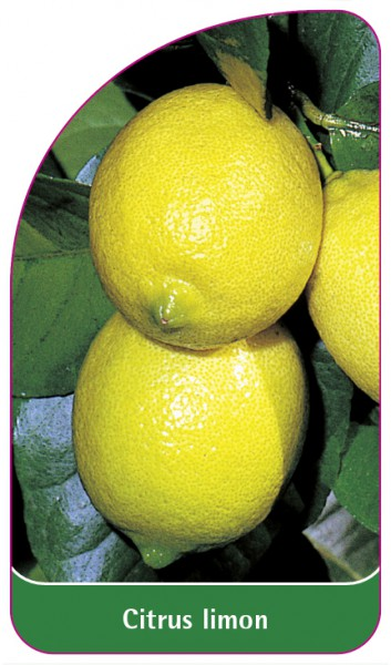 Citrus limon, 68 x 120 mm
