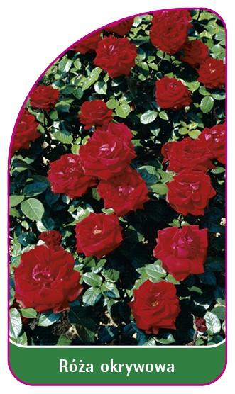Róza okrywowa Nr. 301 A, 52 x 90 mm