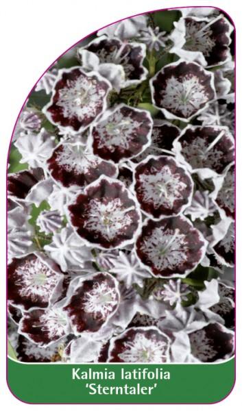 Kalmia latifolia 'Sterntaler', 68 x 120 mm