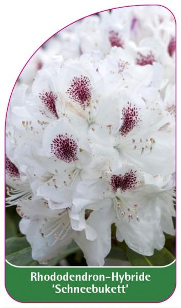 Rhododendron-Hybride 'Schneebukett', 68 x 120 mm