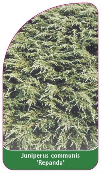 Juniperus communis 'Repanda', 68 x 120 mm